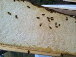 Butler Bees